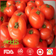 Organic and fresh tomatoes in bulk sale