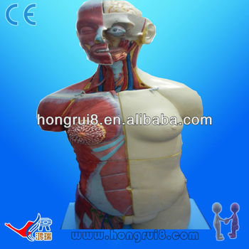 85CM(20parts) Anatomical Human anatomy Torso model Dual Sex
