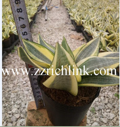 Sanseveria Golden Hahnii