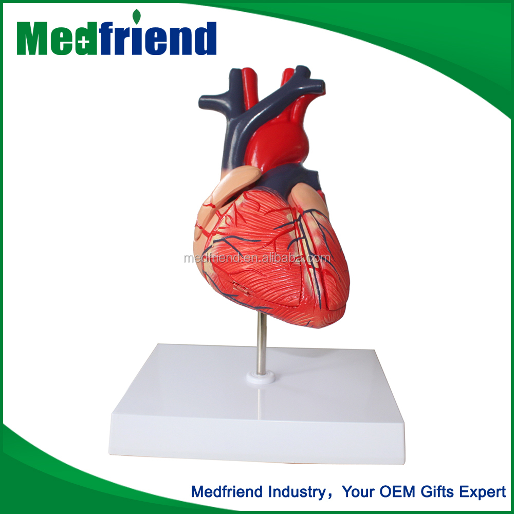 MFM015 High Quality Cheap Custom Medical Heart Models Sale