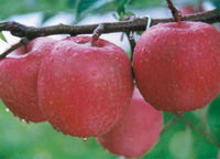 INDIAN RED DELICIOUS FUJI APPLE
