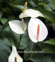 Wholesale Fresh Cut Flower Without Middleman White Anthurium Varieties