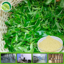 Pure Natural Green Tea Extract /Tea Polyphenol, Catechin, EGCG with highest quality