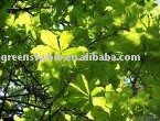 Horse Chestnut Extract (Plant Extract) 20% Escin