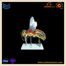 Anatomical teaching model of insect for school teaching