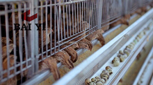 High Quality Metal Poultry Quail Cage for sale
