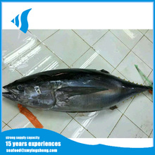 Natural Frozen whole tuna fresh yellow fin tuna