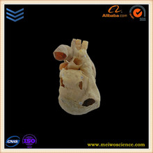medical learning model pericardium plastination specimens company in china