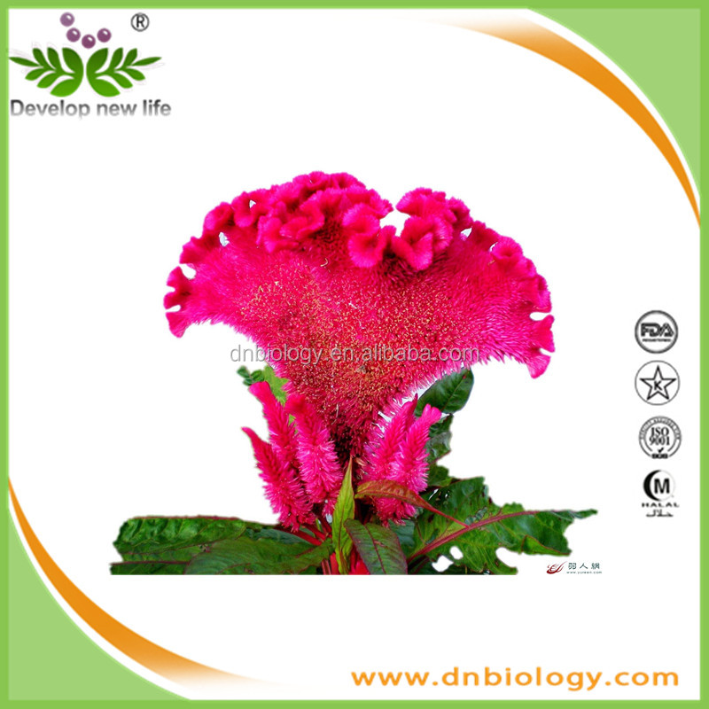 cockscomb flower extract/plant extract/Celosia cristata L.large quantity