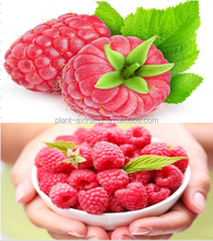 Top quality Raspberry Extract, free sample for initial trial, in bulk supply