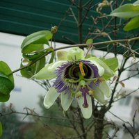 Natural Passion Flower P.E. Flavonoids