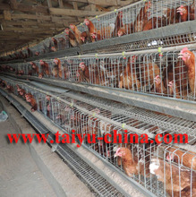 TAIYU Poultry Layer Breeds