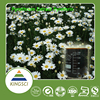 Free Sample High Quality Pyrethrum extract 25%-50% oil Pyrethrins Fresh Store