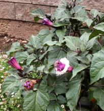 Datura metel floreplene Seeds ,Horn Of Plenty Seeds Marathi - Datura - See more at: http://chhajedgarden.com/Trees---Medicinal-a