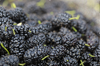 Freeze-Dried Mulberry Antioxidant Berry Fruits