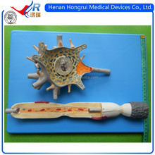 ISO Vivid Anatomical model of Nerve Cell