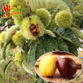 best quality fresh chestnut from china