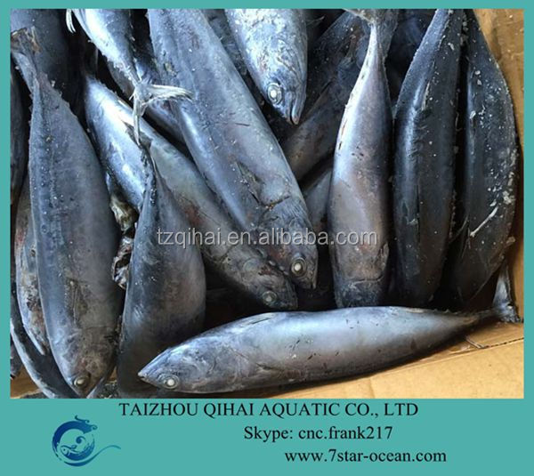 FROZEN BONITO FISH WHOLE ROUND BONITO TUNA