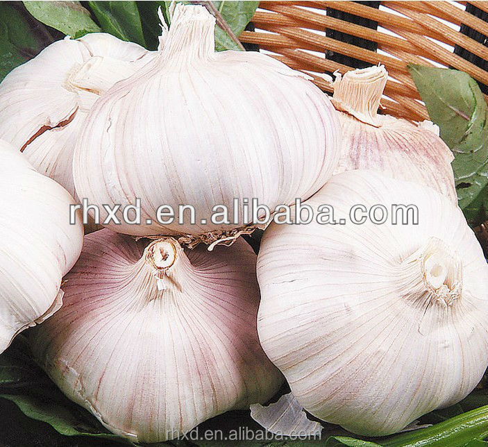 Fresh Garlic In Cold Storage Exporters