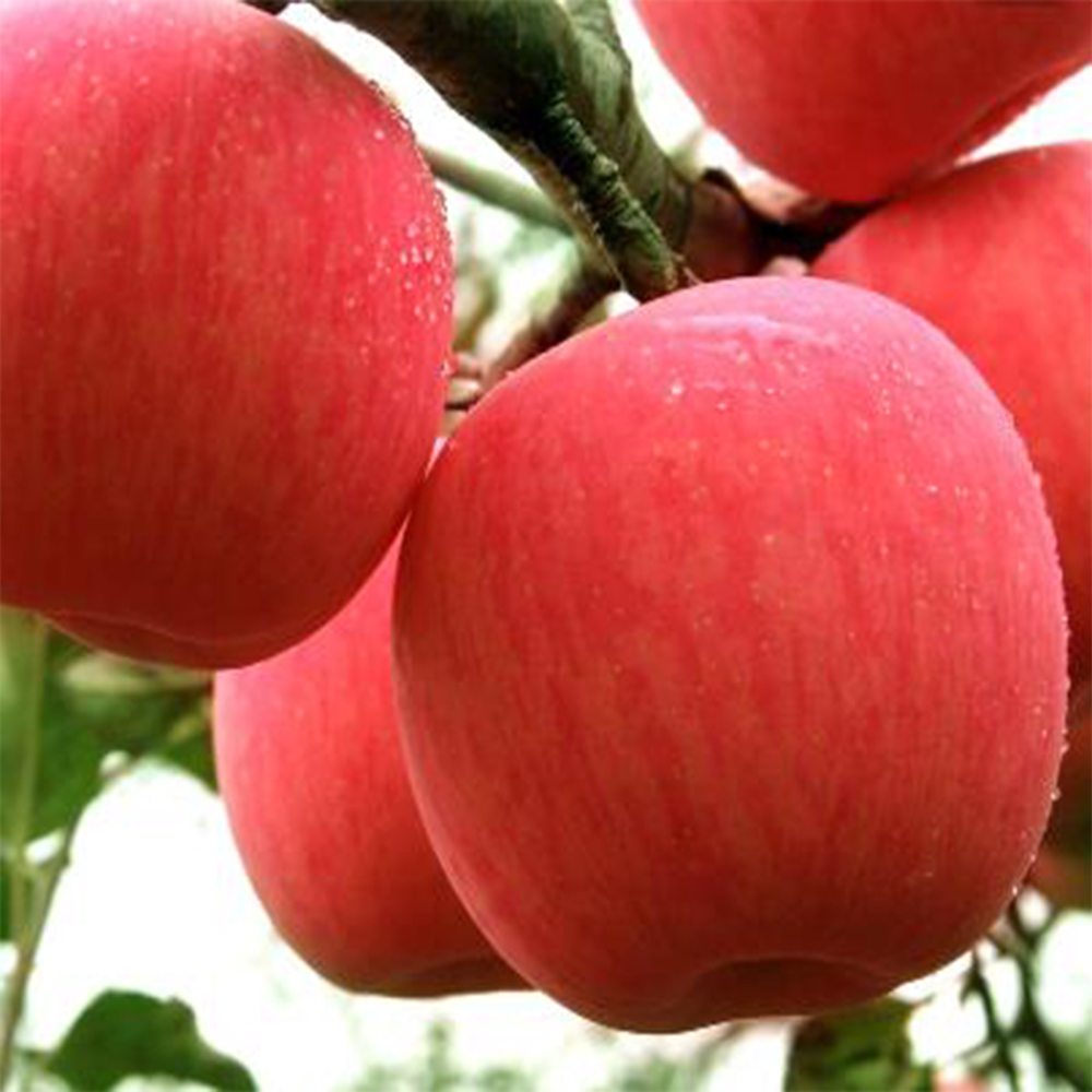 <strong>Apple</strong> Fuji Fresh with Strip or Blush Red mature sweet and Best Price
