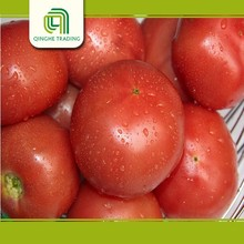 Hot selling green tomato fresh red tomato with low price