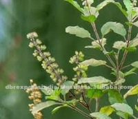 Pure Tulsi Extract