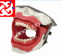 dental study model for oral surgery training model/anaesthesia