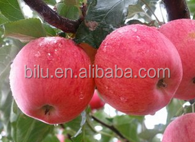 2016 new fresh fruit red smooth gala apples