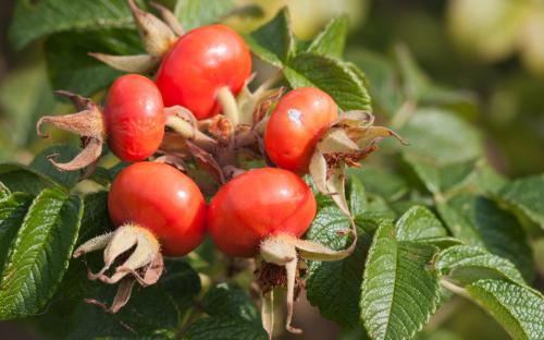 100% Nutral Factory Price Rose Hips Extract Power 20:1