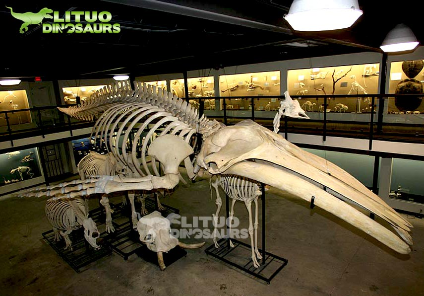 Educational Life Size Animal Realistic Skeleton Whale
