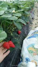 High quality agricultural black polyethylene plastic mulch film for strawberry