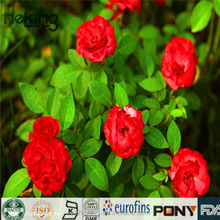 100% Natural High Quality Pure Camellia extract/Tea Saponin