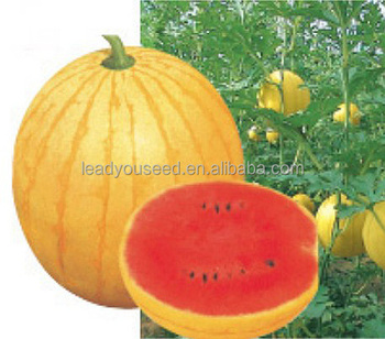 W23 Jinfu Very Early Maturity Yellow Watermelon Seeds Small Size Fruit Sweet And High Yield View Watermelon Seeds Leadyou Product Details From Guangzhou Lead You Seed Co Ltd On Alibaba Com