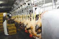 poultry application and new condition slaughter house for chicken slaughter