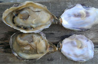 Namibian Live Pacific Oyster
