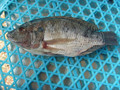 Hot sell wholesale tilapia fresh catch on sale