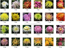 High Sprouting Rate Hot Sale Chrysanthemum Seeds For Growing