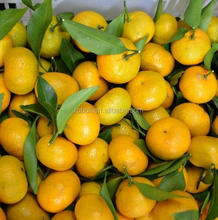 Fresh Style and Common Cultivation Type nanfeng fresh baby mandarin orange
