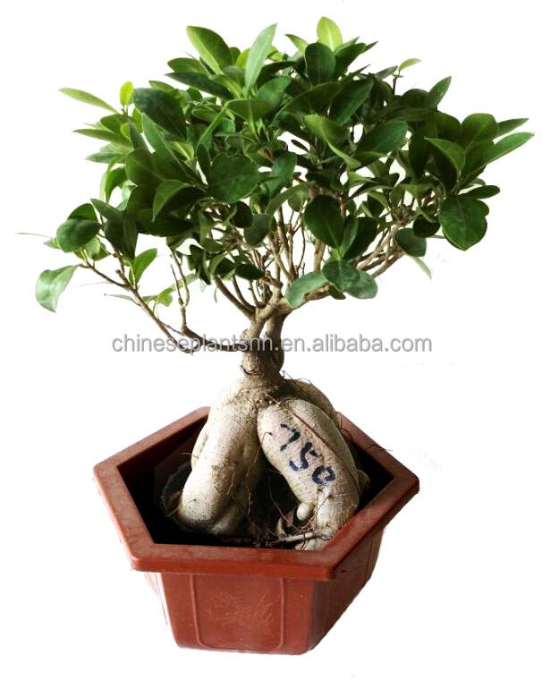 750g Ginseng Grafted Ficus Bonsai, Ginseng Ficus, bonsai trees live plant indoor plant
