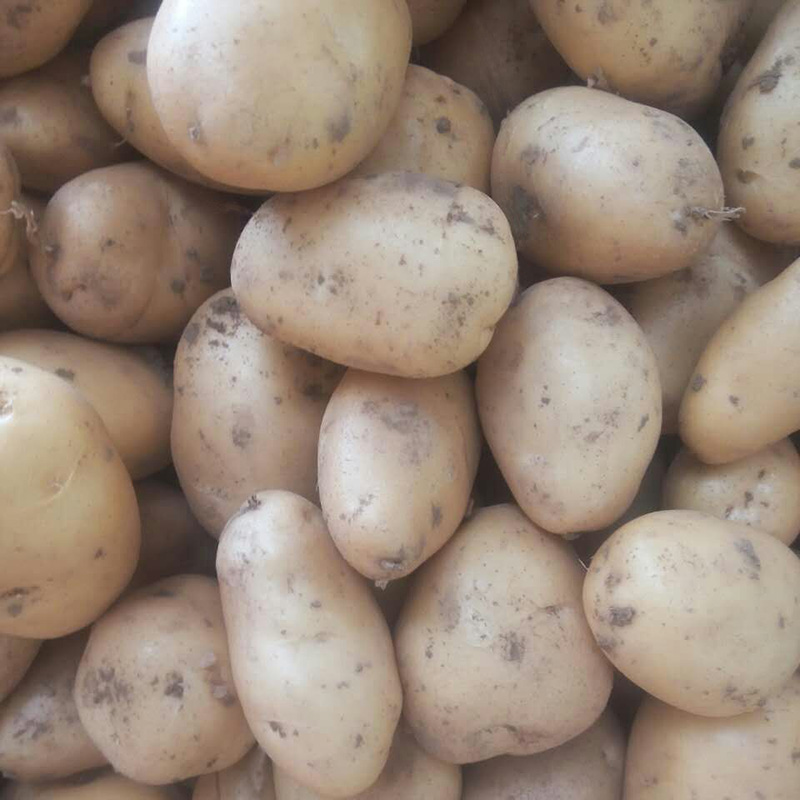Holland potato seeds