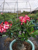 Double petals Grafted Adenium desert rose bonsai