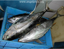 HIGH QUALITY Frozen Yellow fin Tuna Whole Round
