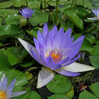2015 Natural Plant Seeds wan lian plant seeds Water Lillies seeds
