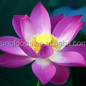 Wholesale natural plant seeds wan lian plant seeds Water Lily seeds blue lotus flower seeds