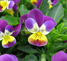 Pansy seeds Viola for planting