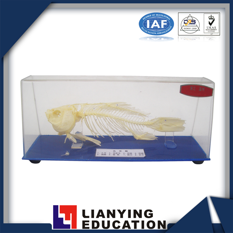 biological teaching demonstrate fish skeleton