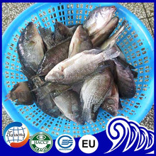 Farm Raised Gutted and Scaled 250-350G tilapia farming products