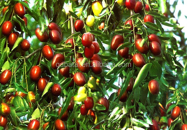 fresh red dates/jujube fruit factory price