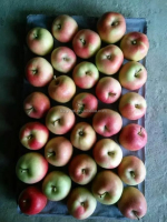 we are supply fresh apple , new crop Fresh gala apple for sale
