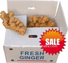 China Ginger 10kg/pvc carton -export more than 66 countries